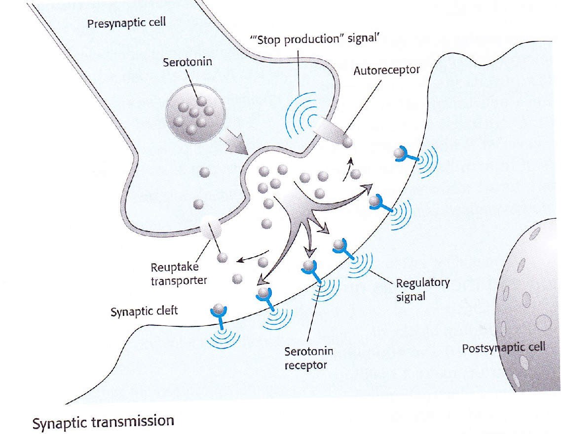 Explain effects of neurotransmission on human behaviour synaptic types of neurotransmitters in the bran and each of them have their own effect on the human body one example of a neurotransmitter is acetylcholine ccuart Gallery